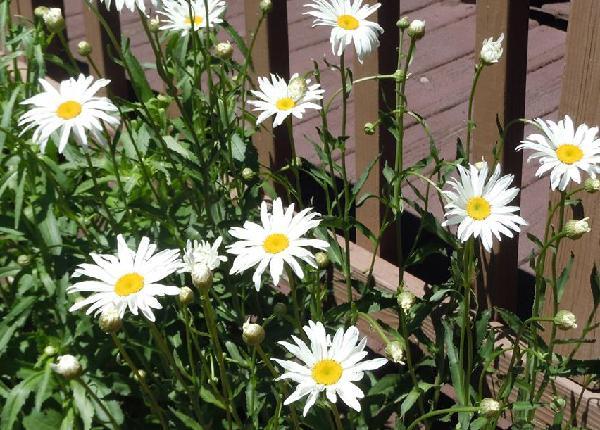 Daisty - Lovely Flower