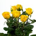 Change Roses with Yellow Colour