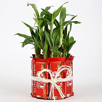 Lucky Bamboo with Kitkat
