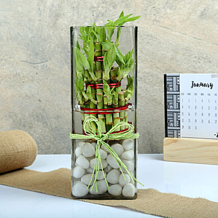 3 Layer Lucky Bamboo in Long Square Vase