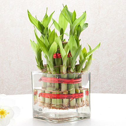 Lucky Bamboo in Square Vase