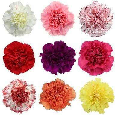 Carnation Flowers in Bulk 5 Bundles 5 Shades
