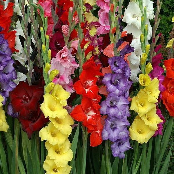 Multicolour Gladiolus 5 Bundles