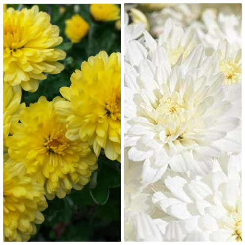 Chrysanthemum (Guldavari) in Bulk