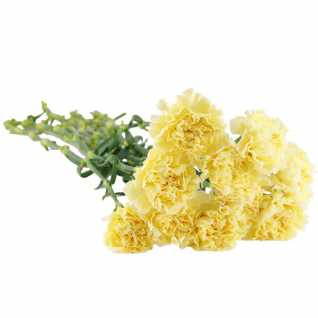 10 Yellow Carnations