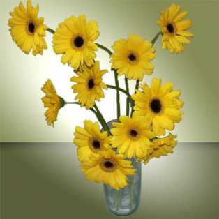 12 Yellow Gerbera and Vase
