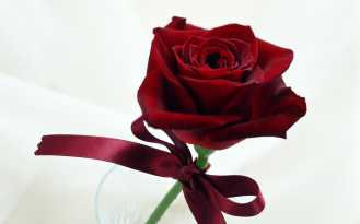 Single Rose for Propose